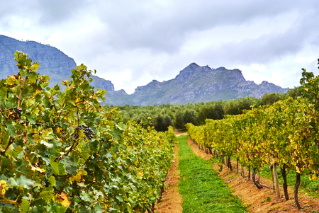 Stellenbosch is a town in the Western Cape province of South Africa, situated about 50 kilometres (31 miles) east of Cape Town, along the banks of the Eerste River at the foot of the Stellenbosch Mountain. Banque d'images - 105813772