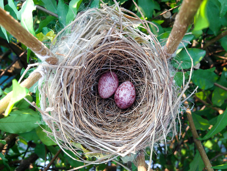 incubate: two bird egg in the nest Stock Photo