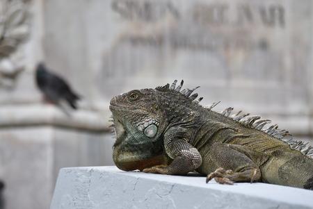 Close-up of an iguana. Photo taken at Sarmiento Park or Iguanas Park, Guayaquil, Ecuador.