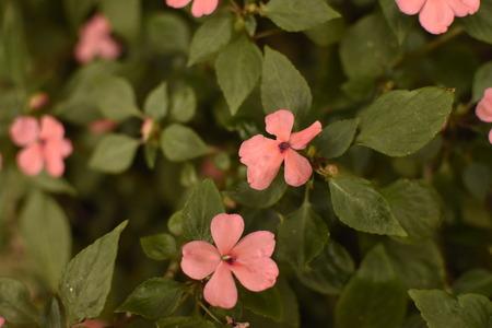 Plant called home joy with pink flowers Foto de archivo - 114827535