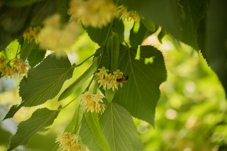 Linden tree flowers and a bee