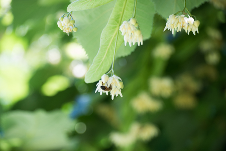 Linden and a bee flowers