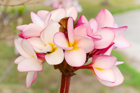 primarily: Plumeria is a genus of flowering plants in the dogbane family, Apocynaceae. It contains primarily deciduous shrubs and small trees.