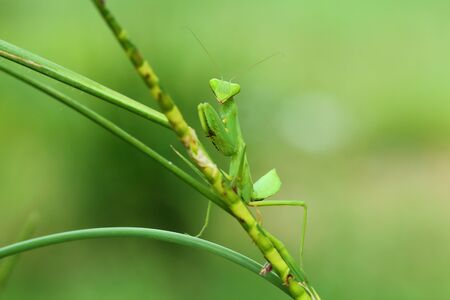 mantid: Mantis lives on grass in Asia Thailand .