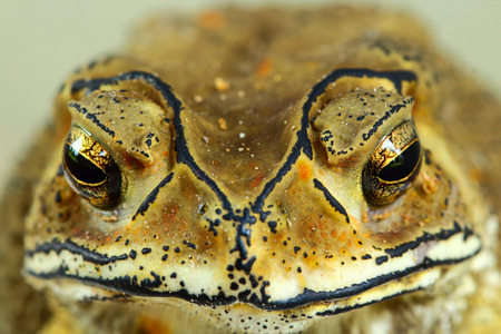 bufo bufo: Asian tropical toad in Thailand Stock Photo