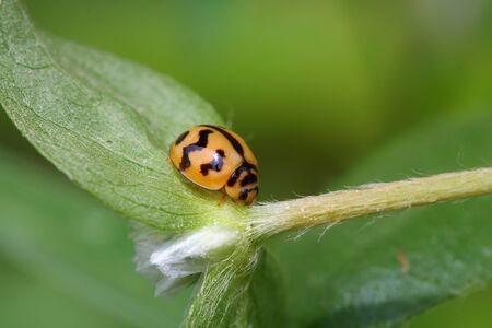 ladybug on leaf: Ladybug perched on the grass .