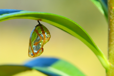 macro: Chrysalis Butterfly hanging on a leaf .