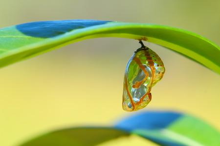 Crisálida de mariposa colgando de una hoja.