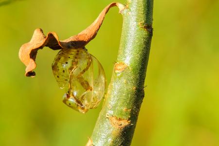 ciclo de vida: Cris�lida de mariposa colgando de una hoja. Foto de archivo