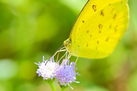 gonepteryx: Butterflies in the meadow, soft , bright sunlight . Stock Photo