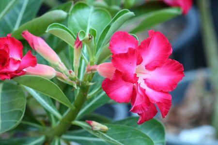 adenium: Tropical flower Pink Adenium. Desert rose.
