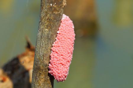 source d eau: oeufs d'escargot dans une source d'eau naturelle. Banque d'images