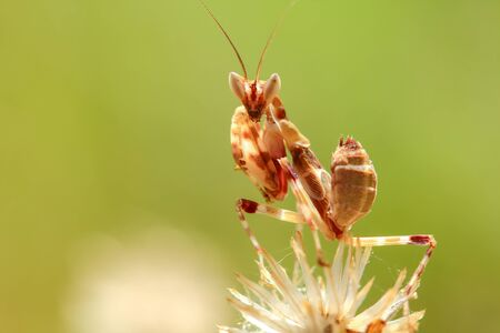 mantid: Mantis Perched on the flowers meadow in the sunshine, fresh style .