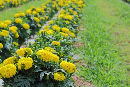 garden marigold: marigold blooming in the garden