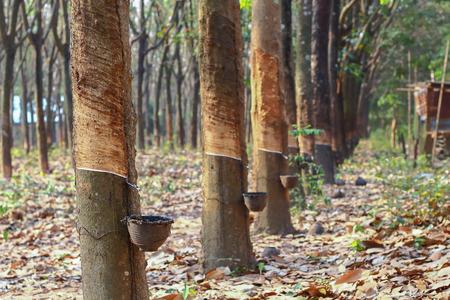 paesaggio industriale: alberi della gomma asiatici in Thailandia Archivio Fotografico