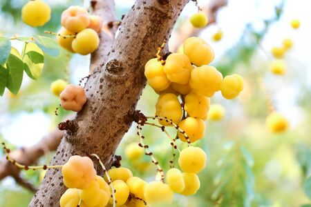 phalanges: Gooseberry , gooseberry on tree in Thailand.