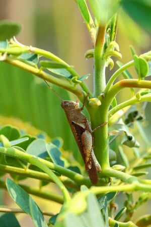 Grasshopper in natural sunlight Thailand . Stock Photo