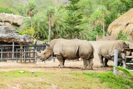 Rhinoceros in Zoo , Korat  Thailand