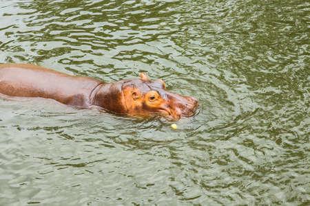 jawbone: Hippo in Zoo , Korat  Thailand