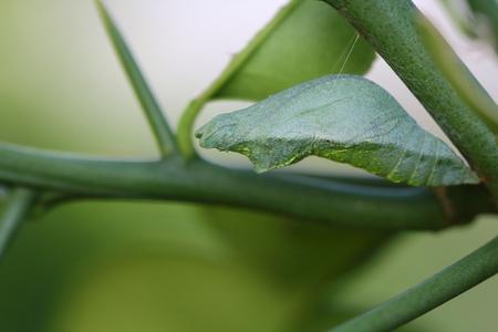 lifecycle: Crisálida de mariposa colgando de una hoja. Foto de archivo