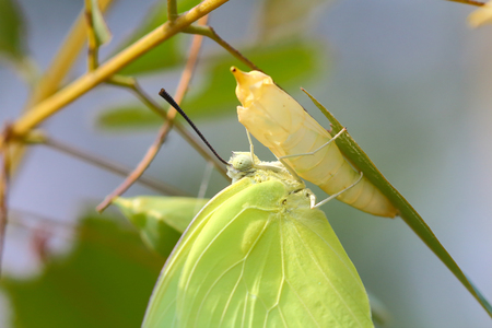 Butterfly perched on a pupa Stock Photo