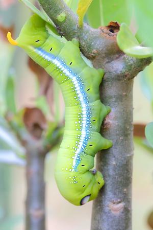 Caterpillars that eat leaves . Daphnis nerii.