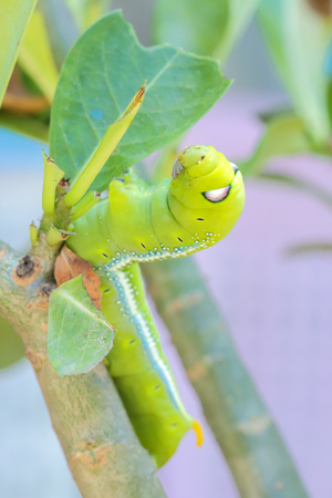 Caterpillars that eat leaves . Daphnis nerii.