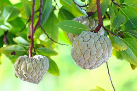 Custard Apple growing on a tree in Thailand.