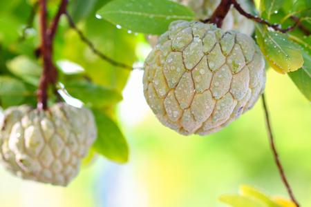 sweetsop: Custard Apple growing on a tree in Thailand.