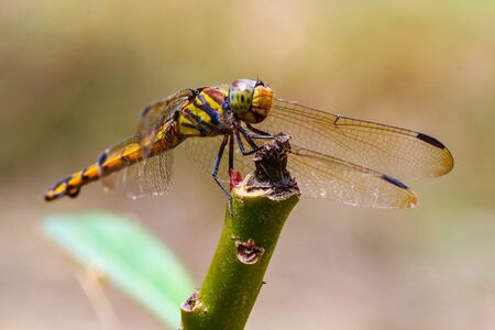 Dragonfly macro in a beautiful meadow outdoor . Insects in Asia Thailand. Stock Photo