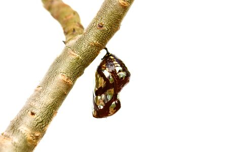 chrysalis: Chrysalis Butterfly hanging on trees .