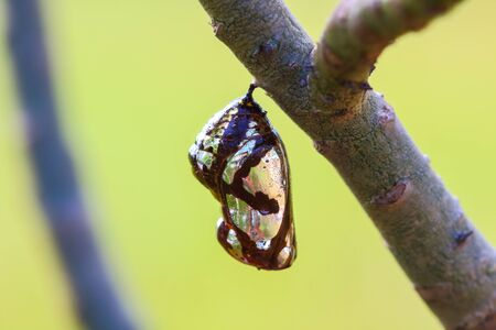 Chrysalis Butterfly hanging on trees .