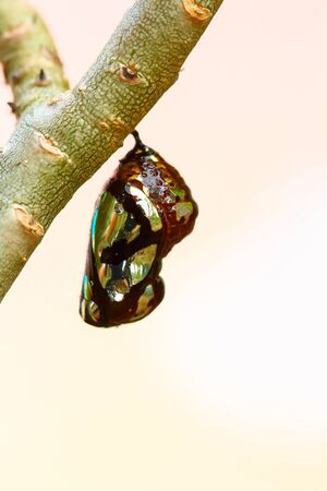 lifecycle: Crisálida de mariposa colgando de los árboles.