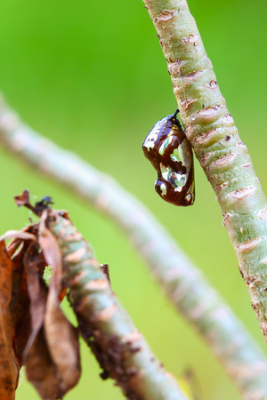 transmogrification: Chrysalis Butterfly hanging on trees .