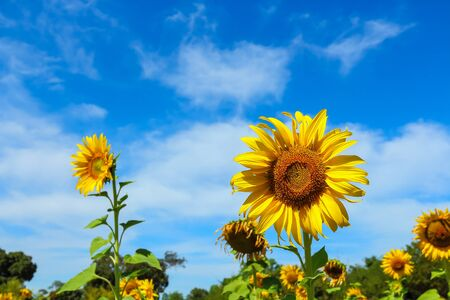 Sunflower blooming with beautiful blue sky. Stock Photo