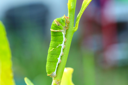 lifecycle: Butterfly caterpillar eating kaffir lime leaves.