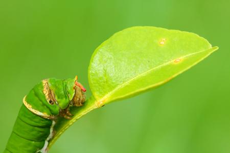lifecycle: Oruga de la mariposa que come las hojas de la cal del kaffir. Foto de archivo