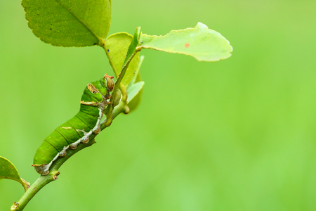 Butterfly caterpillar eating kaffir lime leaves.