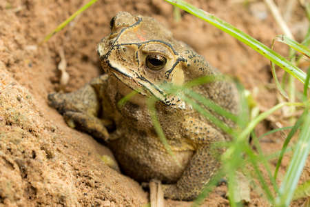 Toad hibernate. in asian tropical  Thailand. Stock Photo