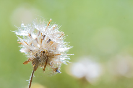 Beautiful white dandelion flowers with blur background.