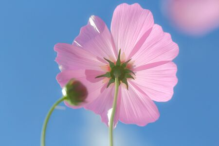 Cosmos flowers blooming  in colorful plains.