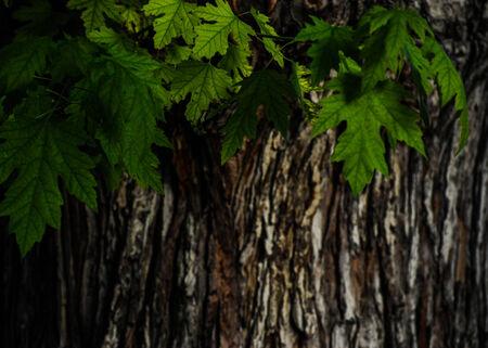 Oak tree at dusk Imagens