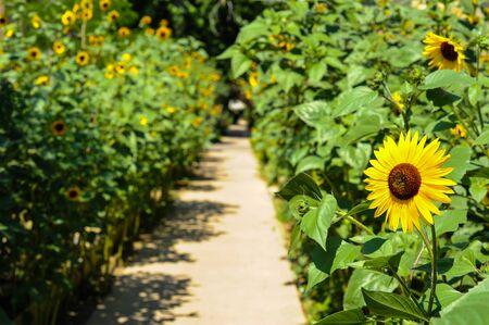 Sunflowers along sidewalk