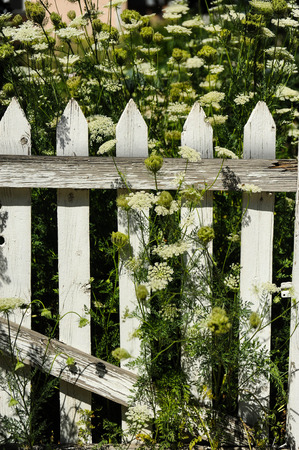 Picket fence in white weeds Stock Photo