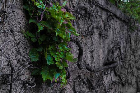 죽은 포도 나무에 잎