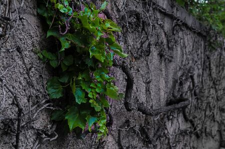 Leaves on Dead Vine Imagens
