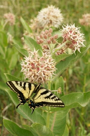 Tiger Swallowtail Butterfly on a Milk Weed Flower with a Vertical Format