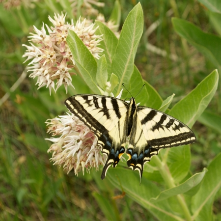 Tiger Swallowtail Butterfly on a Milk Weed Flower