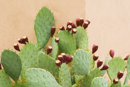 Prickly Pear with Fruit Against a wall in a Horizontal Format