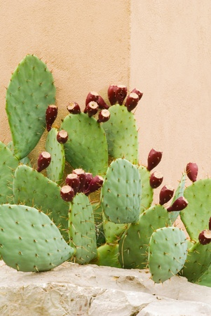 Prickly Pear with Fruit Against a Wall in a Vertical Format